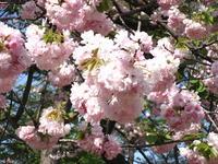 2007.04.14_satosakura01.JPG