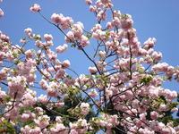 2007.04.14_satosakura02.JPG